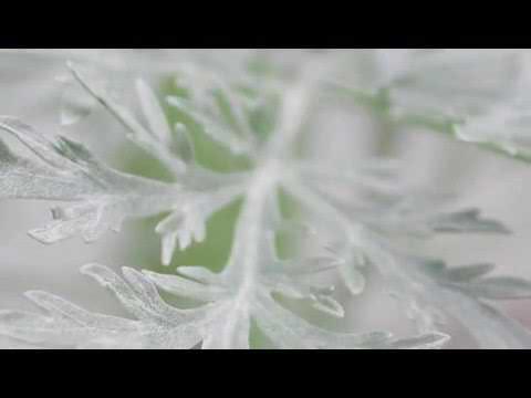 , title : 'How to Grow Wormwood (Artemisia)