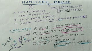 Hamstring Muscle ( posterior thigh muscle )