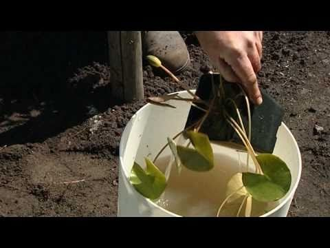 Wasserpflanzen und Seerosen richtig einsetzen