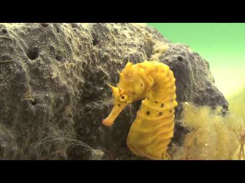 Seahorse Mating Is A Risky Gender-Bending Water Ballet