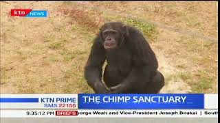 A day with Kenya's soon extinct Chimpanzees at Sweet Waters sanctuary-Ol Pejeta