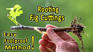 Rooting Fig Cuttings   A Foolproof Rooting Method   Check The New No Shock Transplant Method