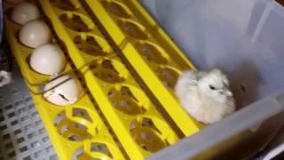 Chicks Hatching: Incubator to Brooder box