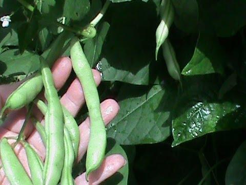 Πως να φτιάξετε τα φρέσκα φασόλια από τον κήπο