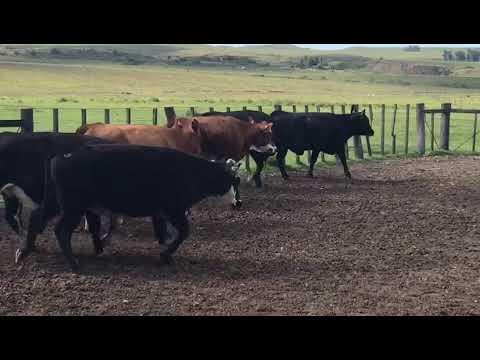 Lote 10 Vacas de Invernada, Artigas