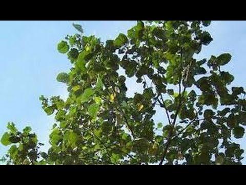 Video TERBUKTI!! Inilah Manfaat Dan Khasiat Pohon Waru