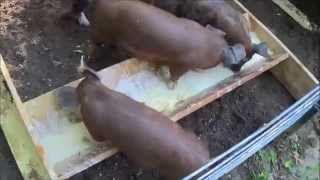 FEEDER PIGS. Day 1. They Arrive.  How To Raise Your Own Feeder Pigs.