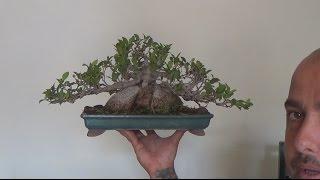 Refinado de Ficus Ginseng (aunque no exista)