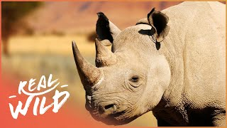 Ramu The Rhino Is Searching For A Female | Wild Family Secrets | Wild Things Shorts