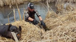 """Basic Beaver Trapping """"Castor Set with Conibears"""""""