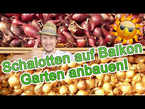 Schalotten anbauen - Steckzwiebeln - Balkon Garten Tipp für März