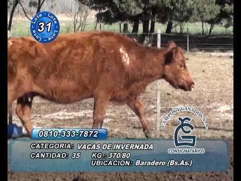 Lote Vaca Inv - Baradero