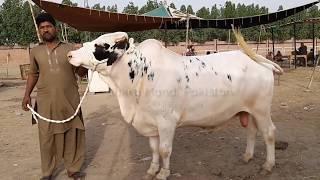 qurbani cow for sale in lahore - 免费在线视频最佳电影电视