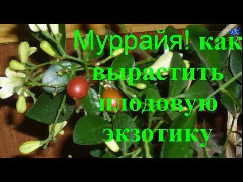 Муррайя Цветущая  все Секреты Опыт Уход Польза ягод Паникулата  murraya care planting growing осень