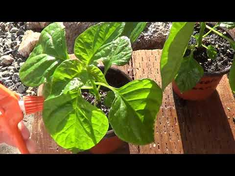 , title : 'Get Rid of Aphids on Peppers and Other Plants by Spraying Them With This...