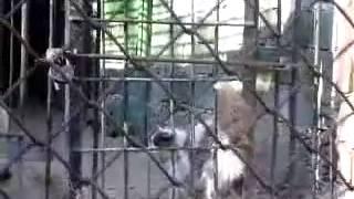 Смотреть онлайн Кот залез в клетку к волкам и тут началась драка