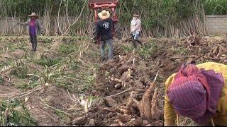 portfolio!! Excavation of cassava PKM01 11 months old. IT phujatkanmun system, part 1