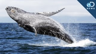 Whales Get Sunburned, Too