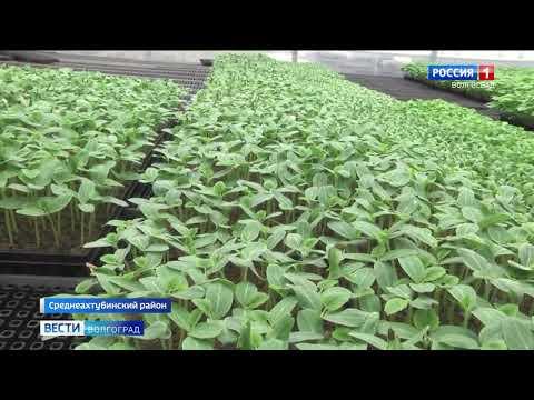В Волгоградской области Управлением Россельхознадзора проведен контроль импортной рассады в тепличном комплексе