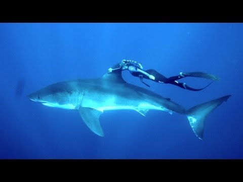 ➟ ➠ ➟ ➠ УНИКАЛНО ВИДЕО: Плуване с бели акули в океана.