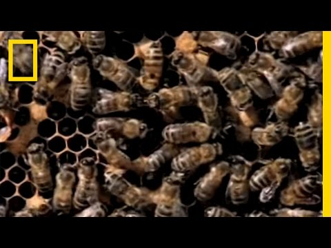 , title : 'Killer Bees! | National Geographic