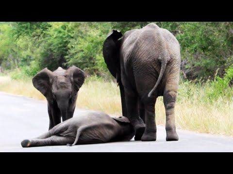 Elephants help  Elephant Calf After Collapsing on the Road