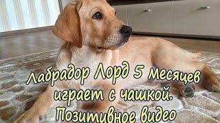 Лабрадор 5 месяцев, играет с чашкой для еды: лучшее видео. Funny dog labrador!