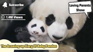 The Growing-up Diary Of Baby Pandas | iPanda