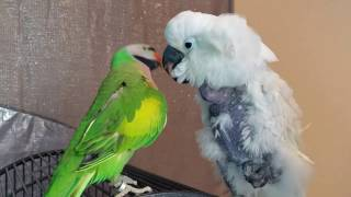 My Mustache Parakeet Picasso Tries To Console Jersey