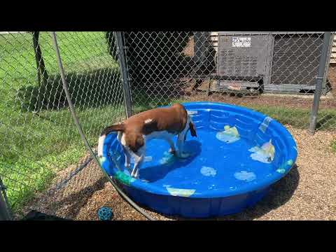 Instagram Star Gazelle, an adopted Coonhound in Medfield, MA