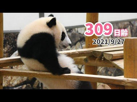 【パンダの赤ちゃん(楓浜)】体操選手のように華麗に!(309日齢)