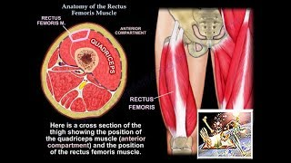 Anatomy Of The Rectus Femoris Muscle - Everything You Need To Know - Dr. Nabil Ebraheim