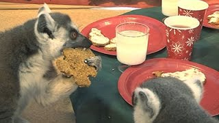 Raw: Lemurs Eat Holiday Treats At Brookfield Zoo