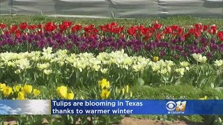 Tulips Are Already Blooming In Texas