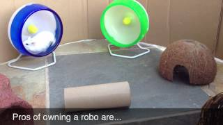 Pros And Cons Of Robo Hamsters