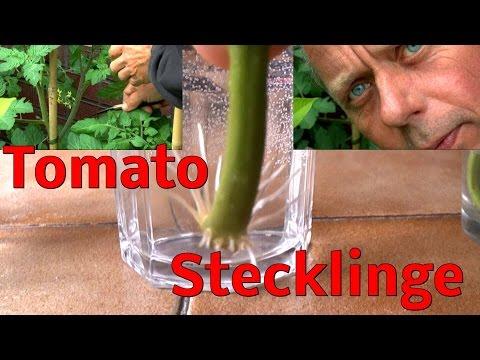 Stecklinge von Tomaten, bewurzeln im Wasser ganz schnell und einfach
