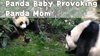The Unexpected Consequence Of Provoking Panda Mom | iPanda