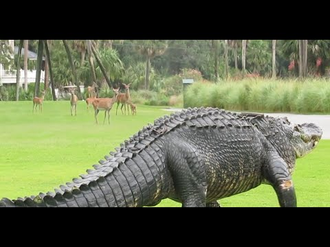 Massive alligator takes a casual stroll through the South Carolina golf course