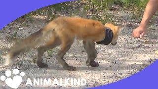 Humans find sick fox with drain around neck