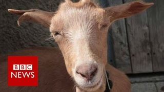 Turning goats into water: A solution for the desert - BBC News