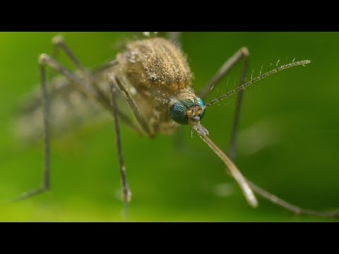 Mosquito Life Cycle - UHD 4K Mp3