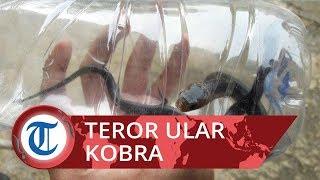 Misteri Kemunculan Puluhan Ular Kobra di Bogor, Petugas Damkar Bongkar Makam Warga