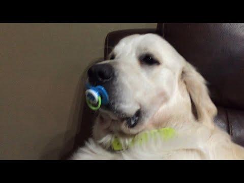 Anteprima Video Cane che pensa di essere un bambino non rinuncia al suo ciuccio