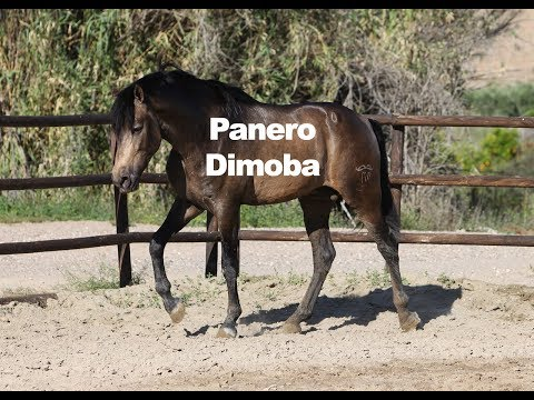 Caballo Bayo Panero Dimoba (Publicado 11-5-2019)