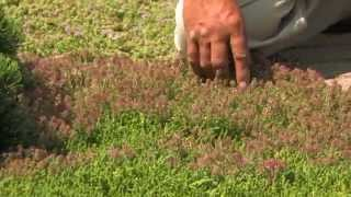 Thyme as a Groundcover