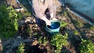 Размножение клубники делением куста видео