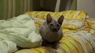 прикол. кошка лает, как собака, ржака