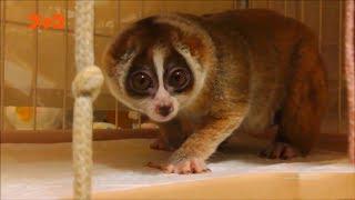 Смертельна зброя найменших приматів світу