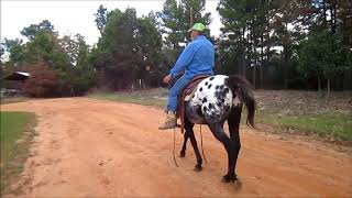 Beautiful Blanketed Appaloosa Gelding For Sale, Gentle And Smart