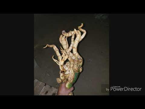 Rithy angkor original (ការបង្ហាញពីឬស្សី ប្លែកៗ) Show other bamboo